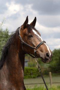 Stichting Manegepaarden Pensioenfonds - Lorenzo
